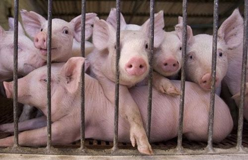 b_500_350_16777215_00_images_2014_feb_pigs-cage_1211098i.jpg